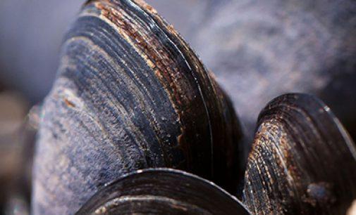 Mejillones artificiales para estudiar la contaminación de los mares