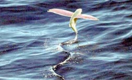 Los peces más veloces que nadan en nuestras aguas