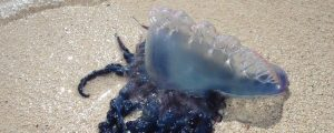 El CSIC descarta un aumento de medusas en los últimos dos siglos