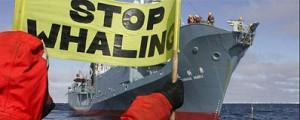 La Haya frena la caza de ballenas