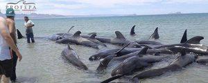 Mueren 25 ballenas en la costa de México
