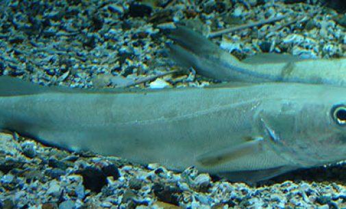 AZTI inicia la campaña de investigación sobre la reproducción de la merluza europea
