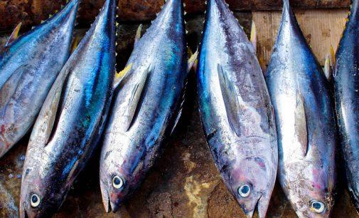España desarrolla un sistema para proteger al atún rojo