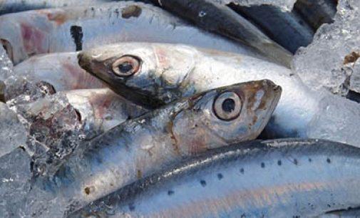Cero pesca de sardinas para 2018
