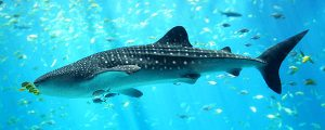 126 países acuerdan la protección de los tiburones