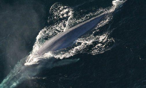 11 navieras participan en el Programa para proteger a las ballenas azules y mantener el cielo azul