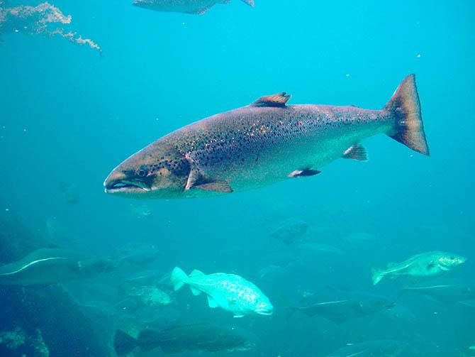 salmon_atlantico