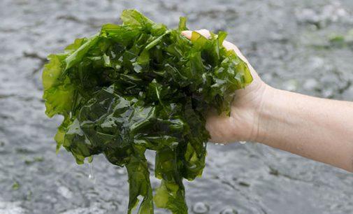 El crecimiento de la Economía Azul de las Islas Canarias en manos de las algas