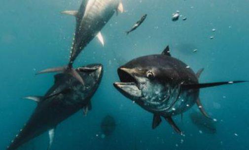 Un paso más cerca en aplicar la inteligencia artificial en los procesos productivos del atún rojo